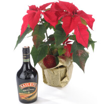 Poinsettia Plant and Cream Liqueur